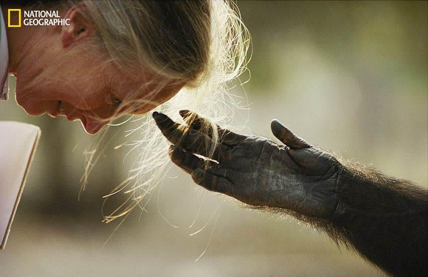chimpanzee named Jou Jou reaches out to Dr. Jane Goodall